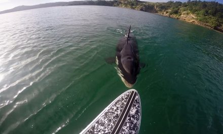 KILLER WHALE NIBBLES SUP