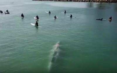 Gray Whale Cruises Through Line Up